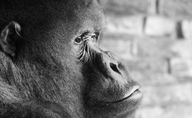 Gorilla, ape, monkey, face, monochrome