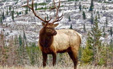 Elk, antler animal, wild animals