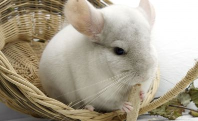 Chinchilla rodent eating food