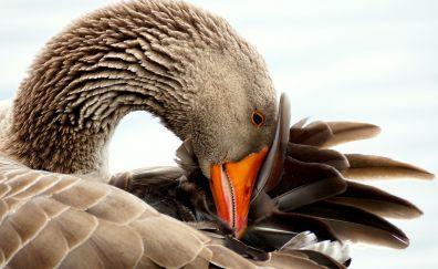 Wild goose, bird, water bird, beak, feathers