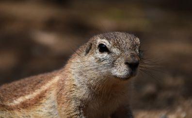 Squirrel muzzle, fur, face