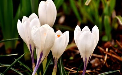 White crocus, flowers, close up, bloom