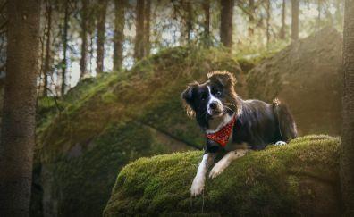 Border collie, stare, pet dog