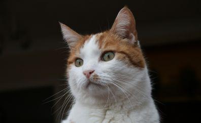 White orange, cat, curious, fur