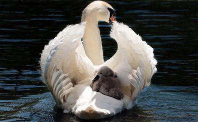 Swan, baby birds, swim