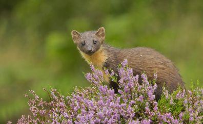 Marten, wild flowers, wild animal