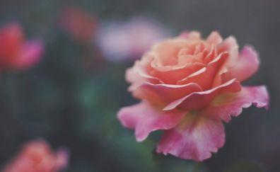 Pink roses, flowers, blur, bloom