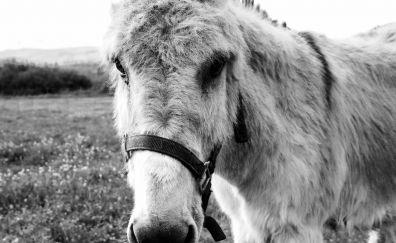 Donkey, muzzle, animal