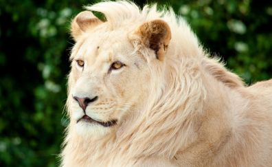 White lion, animal, predator