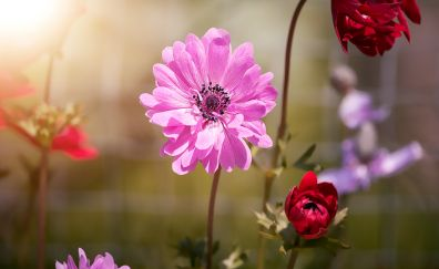 Anemone pink flowers, blossom, spring