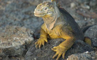 Galapagos land iguana lizard, reptile
