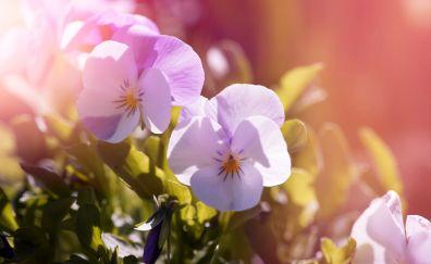Pansy flowers, sunlight, plants