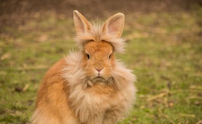 Lionhead rabbit, cute rabbit, animal