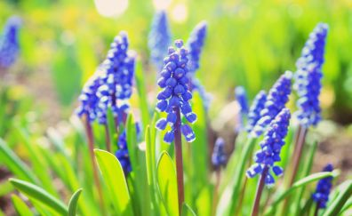 Hyacinth flowers, spring, meadow