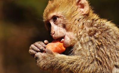 Barbary ape, monkey, eating
