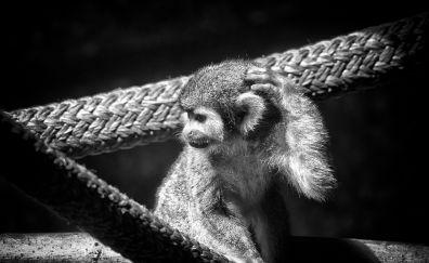 Spider monkey, animal, rope, monochrome