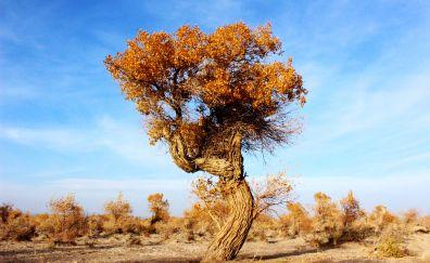Populus euphratica tree, desert