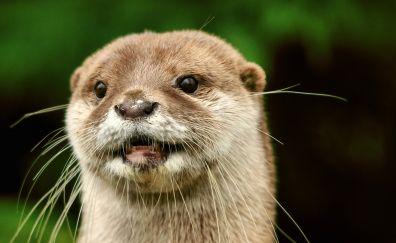 Otter animal face