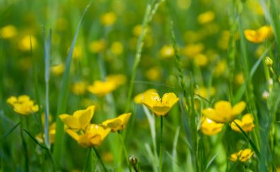 Meadow, flowers, buttercup, spring