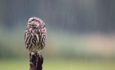 Owl bird, predator, rain, sitting