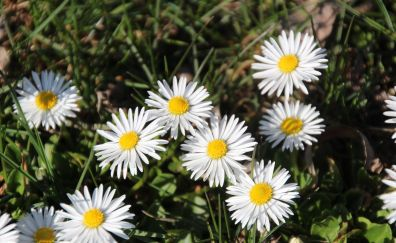 Daisies flowers in summer