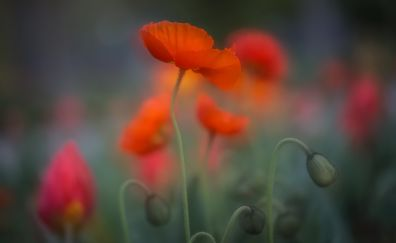 Orange poppy, flower field, close up, blur, plants