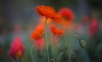 Orange poppy, flower field, close up, blur, plants