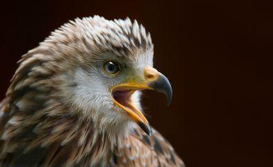 Raptor bird, Falcon, predator, bird, open mouth