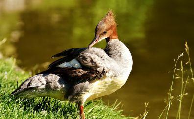 Merganser, water bird, grass