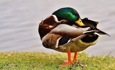 Mallard duck, colorful water bird