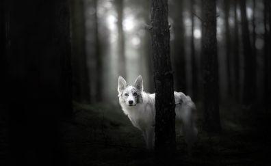 Australian shepherd dog, monochrome
