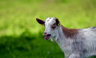 Girgentana goat, pet animal