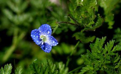 Blue flowers, rain drops, green leaves