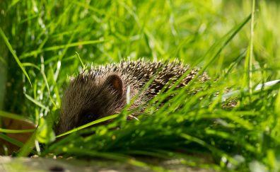 Hedgehog, small animal, grass