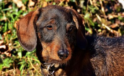 Dachshund, cute dog, muzzle