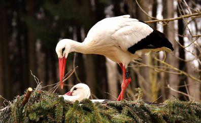 Stork bird, nest, white bird