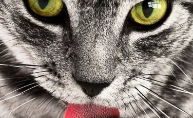 Tabby cat animal, close up