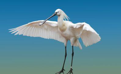 Heron, white water bird, wings