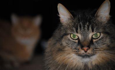 Green eyes, cat, pet's stare