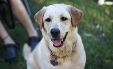 Labrador dog muzzle, pet animal