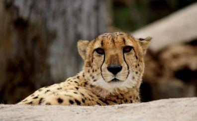 Cheetah, cat, big cat ,wild animal, muzzle