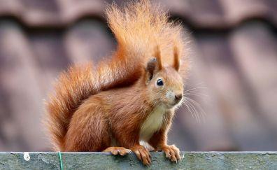 Animal, squirrel, curious, furry
