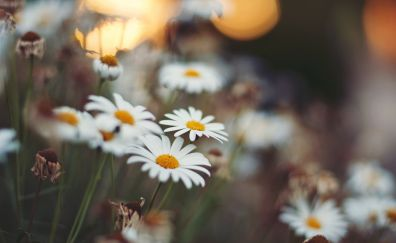 Chamomile, white flowers, blur