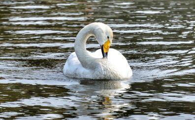 White swan, swim, water bird