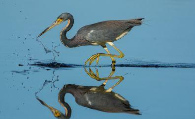 Heron bird, reflections, water splashes