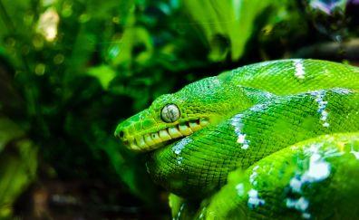Green python, snake, reptile