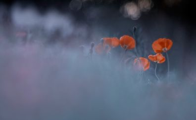Orange poppies, meadow, blur, bokeh
