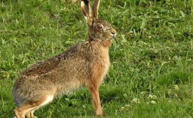 Hare, rabbit, grass field, cute animals