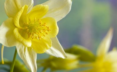 Daffodil, Narcissus flowers