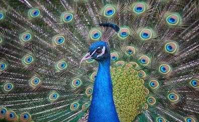 Peacock bird, dance, colorful bird, feathers